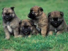 belgian shepherd breeds belgian malinois photos belgian malinois breeders find a local