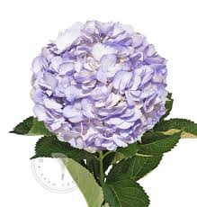 Bulk Hydrangeas Painted Hydrangeas Buy Bulk Flowers Free Shipping U2013 Bloomingmore