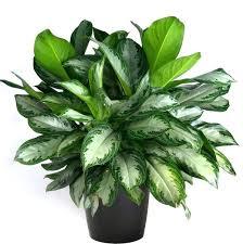 best low light indoor trees indoor plant low light indoor plants low light best low light