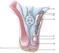 Quiz Anatomy Anatomy And Physiology Questions The Reproductive System