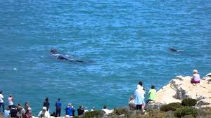 land based whale watching in hermanus youtube