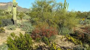 native sonoran desert plants an example of a natural sonoran desert landscape youtube
