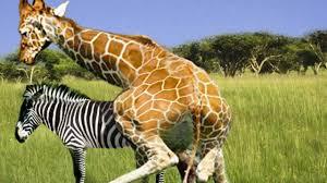 giraffe u0026 zebra breeding fail hd youtube
