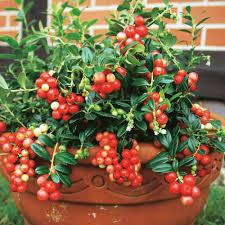 Tropische Pflanzen Im Garten Exotische Früchte U0026 Obststräucher Kaufen Bei Ahrens Sieberz
