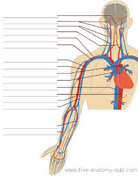Human Anatomy Upper Body Free Anatomy Quiz The Circulatory System Upper Body Image