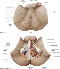 Male Anatomy Perineum Abdominal Wall Atlas Of Anatomy
