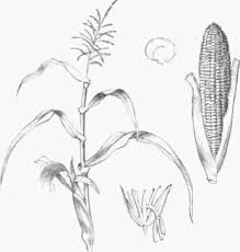 muzk or indian corn zea mays