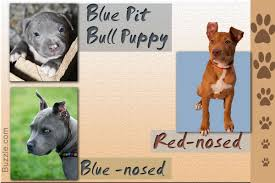 american pitbull terrier traits stunning facts about the different breeds of pit bulls with pictures