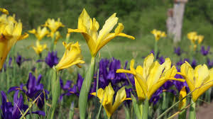 iris bulbs sapphire american