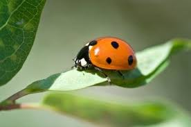 How To Find Ladybugs In Your Backyard Getting Rid Of Lady Bugs Thriftyfun
