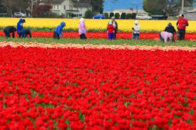 Skagit Valley Tulip Festival Bloom Map Skagit Valley Tulip Festival Follow The Flammias