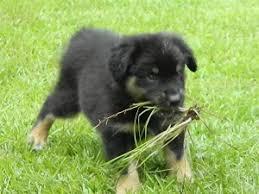 australian shepherd up for adoption purebred australian shepherd breeders in gordon ga cowboy u0027s