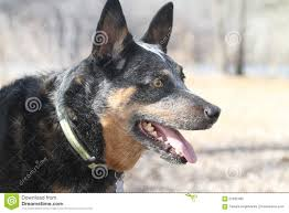 australian shepherd blue heeler blue heeler australian cattle dog face with collar stock photo