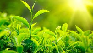 Teh Hijau universitas gadjah mada ugm students utilize green tea extract to