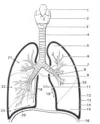 free coloring page digestive system