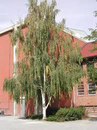 betula pendula woody ornamental identification montana state