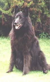 belgian sheepdog groenendael puppies for sale do you want to own a wolfdog