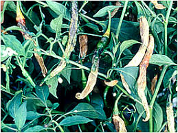 Green Chilli Plant Diseases - tnau agritech portal crop protection