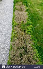 hedging shrubs stock photos u0026 hedging shrubs stock images alamy