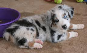 australian shepherd husky puppy rockin u0027 diamond t ranch australian shepherd puppies animals