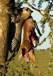 Oregon the traveler images Leopard hauls reedbuk up acacia tree serengeti oregon budget jpg