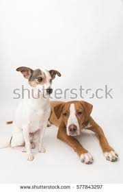 jack russell american pitbull terrier mix jack russell mix dog without one stock photo 572168497 shutterstock