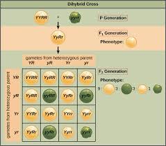 Dihybrid Cross Punnett Square Worksheet Probabilities In Genetics Article Khan Academy