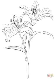 tiger coloring book pages tiger lily simple lily coloring pages coloring page and coloring