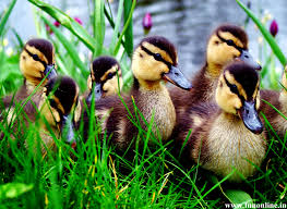Wallpaper For Home by Adorable Duck Pics Duck Wallpaper For Home 50 Wallpapers Nm Cp
