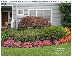 a japanese maple tree surrounded by bushes and flowers in