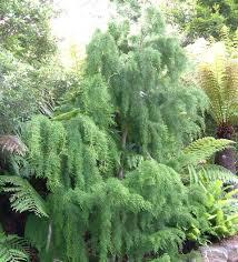 native tasmanian plants lagarostrobos wikipedia