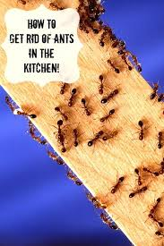 fourmis dans la cuisine comment se debarrasser des fourmis dans une cuisine fourmis astuces