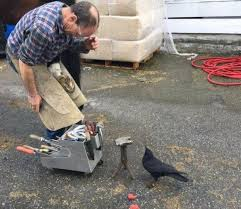 canuck the crow u0027s attacks halt vancouver mail delivery bbc news
