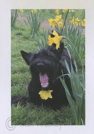 409 best scottish terriers images on scottie dogs