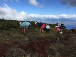 maui native plants maui cultural lands protecting u0026 restoring hawaiian cultural