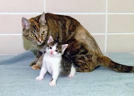 cc the first cloned cat britannica com