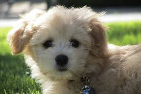 american eskimo dog poodle mix poodle mix a letter to my dog