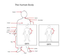 printable montessori curriculum human body nomenclature cards printable montessori materials for