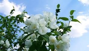 Jasmine Tea Flowers - jasmine tea and the gratitude fairy vision times