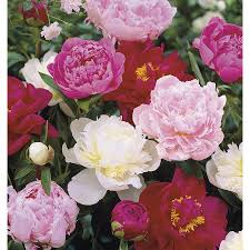 peonies for sale shop 1 gallon potted peony lb16167 at lowes