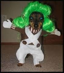 Chihuahua Halloween Costume Cutest Garden Gnome Robin Hoods Dog