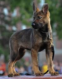 belgian sheepdog club of the rockies 141 best rcmp images on pinterest funeral moncton nb and police