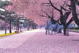 amazon com kwanzan cherry tree double flowers 3 year live