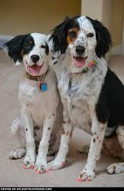 4 month australian shepherd gemma is a 4 month old llewellyn english setter pup lillian is a