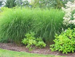 ornamental grasses add a lot to the lawn westhton 27east