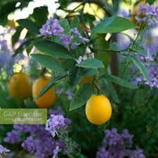Tree With Purple Flowers Gap Gardens Citrus Limon Lemon Tree Underplanted With Purple