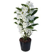Dendrobium Orchid White Dendrobium Orchid Aquarelle