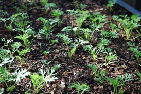 growing carrots how to grow carrots planting carrots