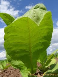 seed kit cigar tobacco 3 tobacco plant varieties heritage
