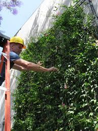 how to prune a wall mounted green facade green wall greenscreen